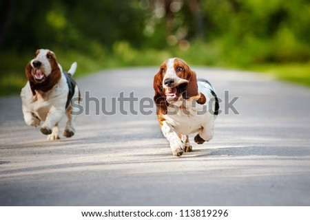 cute funny dogs Basset hound running on the road - stock photo