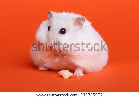 Cute funny hamster in studio, on orange background