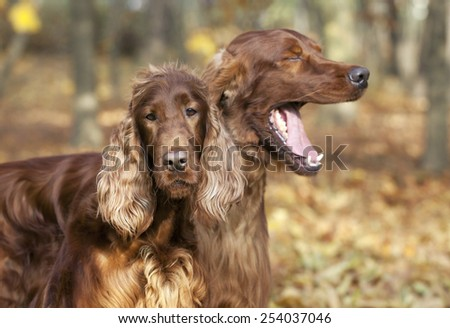 Cute funny Irish Setter pair in Autumn - stock photo