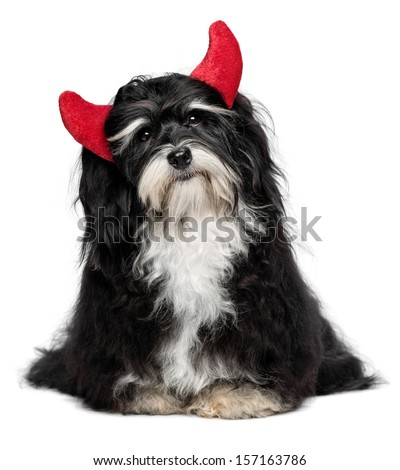 Cute funny sitting Bichon Havanese dog as a little christmas devil with red horns. Isolated on a white background