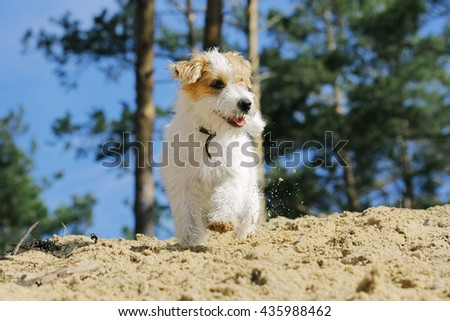 Cute furry dog running in a summer forest. Small funny smiling puppy playing outdoors. - stock photo
