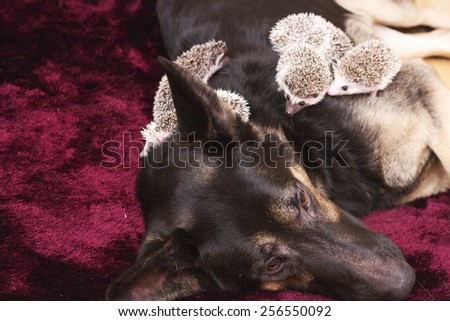 cute german shepherd dog puppy with hedgehog baby rodent - stock photo