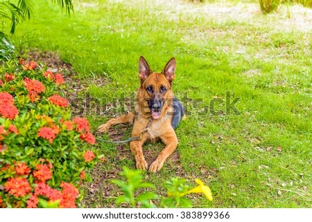 Cute German Shepherd lie on a grass floor, dog in flowers garden, german shepherd profile