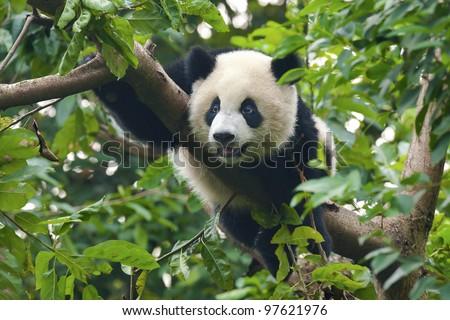 Cute giant panda bear in tree - stock photo
