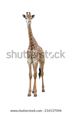 cute giraffe on white background - stock photo