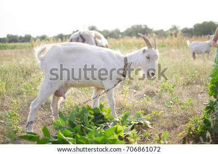 Cute goat on the pasture. Domestic animal on the farm.
