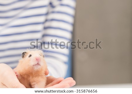 Cute Golden Hamster. - stock photo