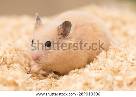 cute golden hamster on wood chips. - stock photo