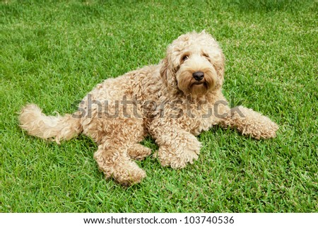 Cute golden labradoodle laying in lush grass - stock photo
