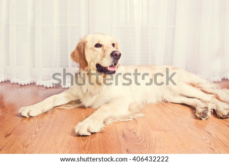 Cute golden retriever dog lying on the floor. - stock photo