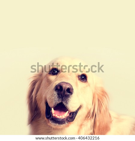 Cute golden retriever dog. Portrait over isolated background with free empty space. - stock photo