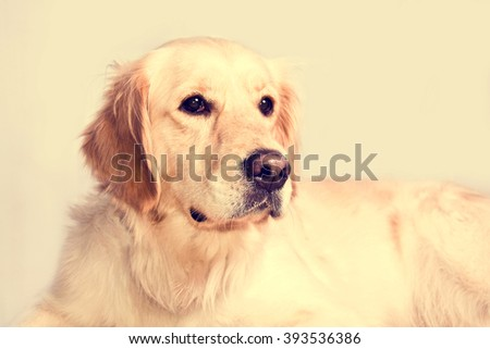 Cute golden retriever dog. Portrait over isolated white background. - stock photo