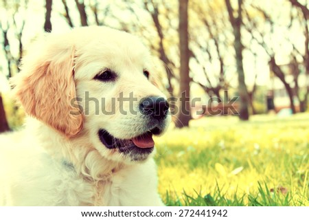 Cute golden retriever puppy in the park at summer. Vintage picture. - stock photo