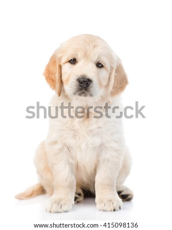 Cute golden retriever puppy looking at the camera. isolated on white background - stock photo