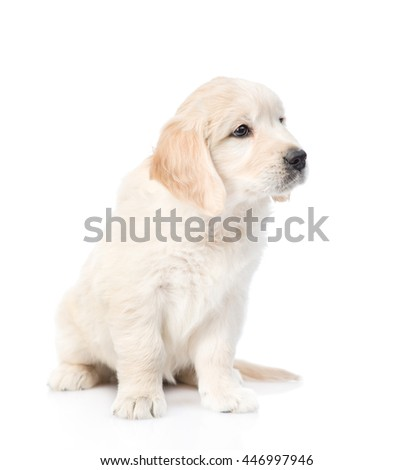 Cute golden retriever puppy looking away. isolated on white background - stock photo