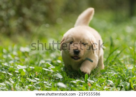 cute golden retriever puppy running in the garden - stock photo