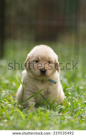 cute golden retriever puppy with funny expression - stock photo
