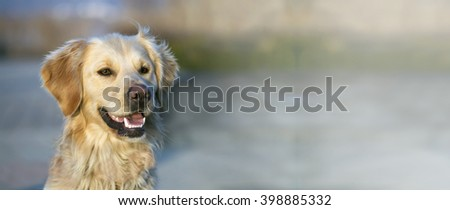 Cute golden retriever smiling to the camera - banner with copy space - stock photo