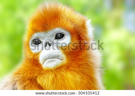 Cute golden Snub-Nosed Monkey in his  natural habitat of wildlife. - stock photo