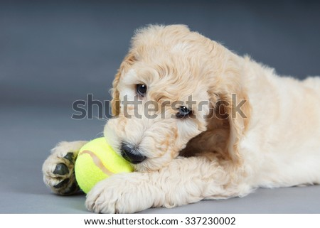 Cute goldendoodle puppy with tennis ball - stock photo