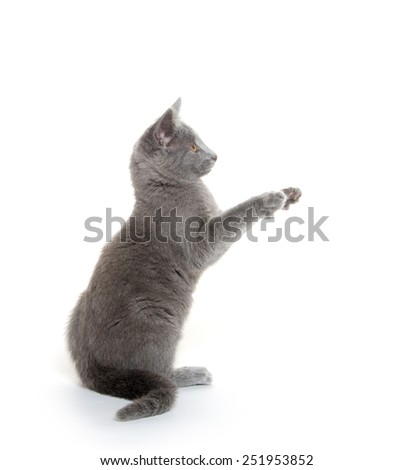 Cute gray American shorthair kitten playing on white background - stock photo