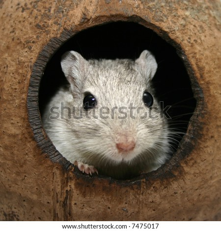 cute gray gerbil looking out of a coconut