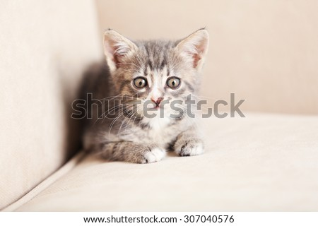 Cute gray kitten at home