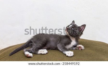 Cute gray kitten breed Thailand, lying on the couch, dark green cloth. - stock photo