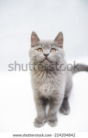 cute gray kitten looking up - stock photo