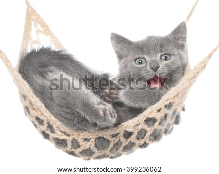 Cute gray kitten sleep in a hammock and yawns on a white background