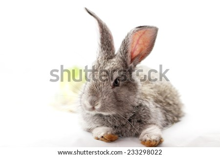 Cute gray rabbit isolated on white background - stock photo
