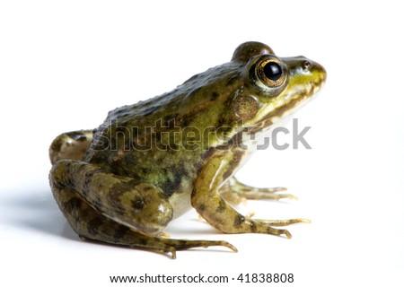 Cute green frog - stock photo