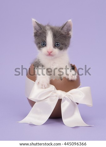 Cute grey and white baby cat kitten in a chocolate easter egg with a white ribbon on a lavender purple background