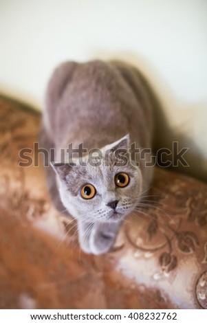 Cute grey british short hair cat posing on luxury couch closeup - stock photo