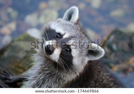 Cute grey fluffy raccoon looking straight to the camera - stock photo