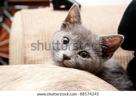Cute grey kitten - stock photo