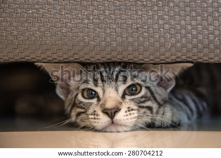cute grey kitten American Short Hair Cat sleep under sofa - stock photo