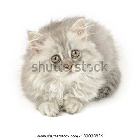cute grey kitten of longhair breed, over white background