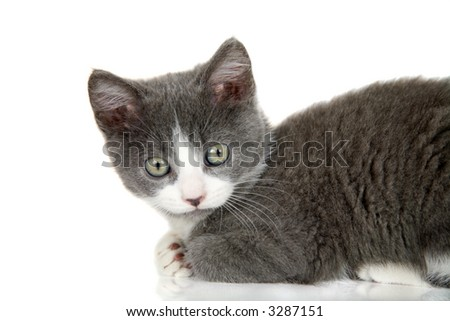 Cute grey kitten on white background looking curious