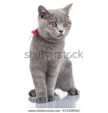 Cute grey Scottish Fold cat with pink ribbon sitting isolated on white background not look at camera