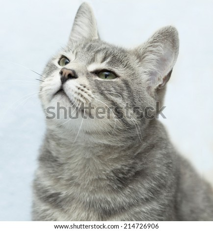 cute grey tabby cat  looking up with sweet look  - stock photo