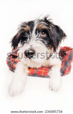 Cute guilty looking puppy on his bed, isolated on white - stock photo