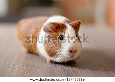Cute Guinea pig, a popular household pet - stock photo