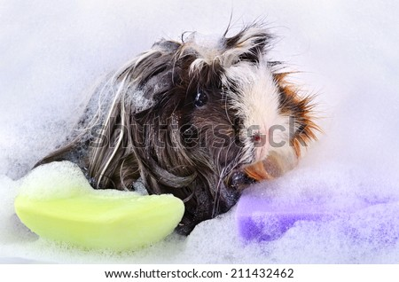 Cute guinea pig taking a bath in soap foam on a white background - stock photo