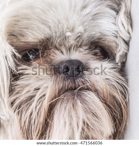 Cute hairy puppy close up face portrait
