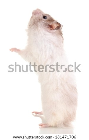 Cute hamster eating from hand isolated white  - stock photo