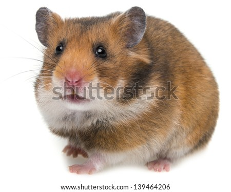 cute hamster isolated on a white background - stock photo