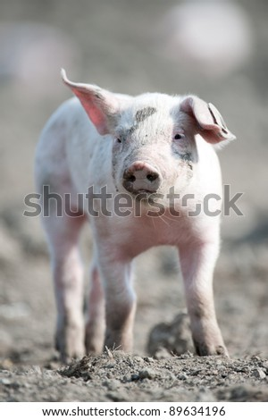 Cute happy baby pig with ear tag - stock photo