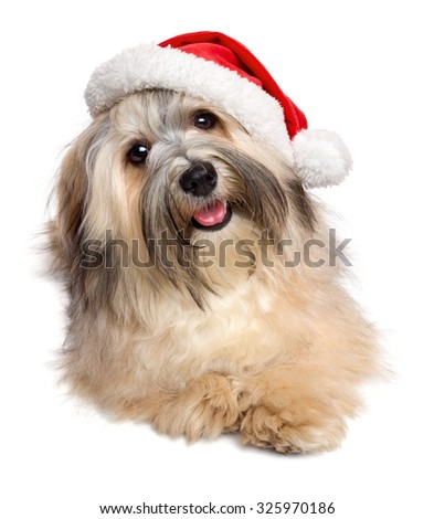 Cute happy Bichon Havanese dog lying in a Christmas - Santa hat. Isolated on white background - stock photo