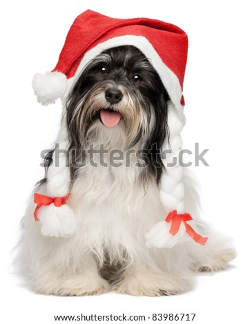 Cute happy sitting Bichon Havanese dog in Christmas hat. Isolated on a white background - stock photo